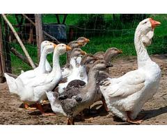 Елітні холмогорські селекційні гуси