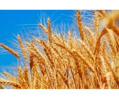 Семена озимой пшеницы - Пилиповка