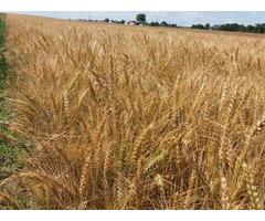 Продам насіння ярої пшениці