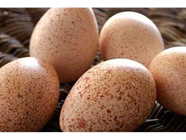 Индюшиное инкубационное яйцо БИГ 6 и БЮТ 8