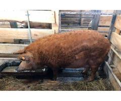 Ремонтные свинки породы Венгерская Мангалица