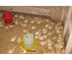 Продается индюшиное инкубационное яйцо