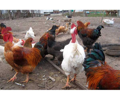 Домашние инкубационные яйца мясо-яичных кур