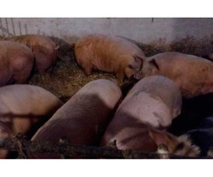 Продам сальних свиней живою вагою