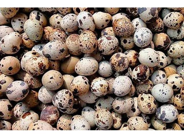 Перепелиные яйца инкубационные.