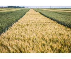 Органическая пшеница Смуглянка, семена