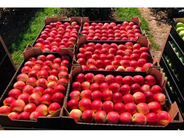 Продажа яблок: Гала, Чемпион, Ред Джонапр, Голден