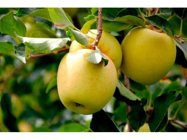 Продам яблука та грушу