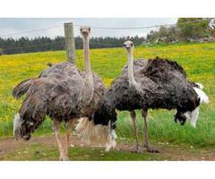 Продам взрослые африканские страусы