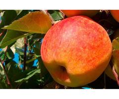Продам яблуко різних сортів