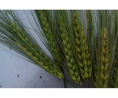 Канадские семена ячменя