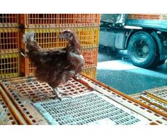 Покупаем на убой живую курицу