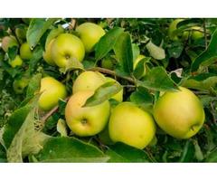 Продам яблука сорт Чемпіон, Голден. Урожай 2020