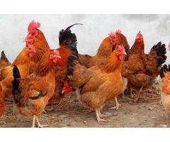 Цыплята суточные, Молодняк Кучинская Юбилейная