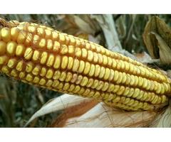 Кукурудза посівний матеріал