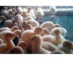 Продам суточных индюшат и инкубационные яица