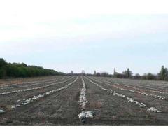 Семена тыквы Волжская серая (Сероволжская) Дамский ноготь (Болгарка) посевной материал 1R