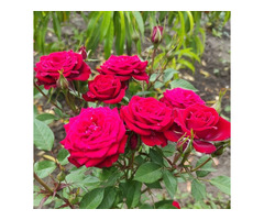 Розы штамбовые в ассортименте, рябина шаровидная